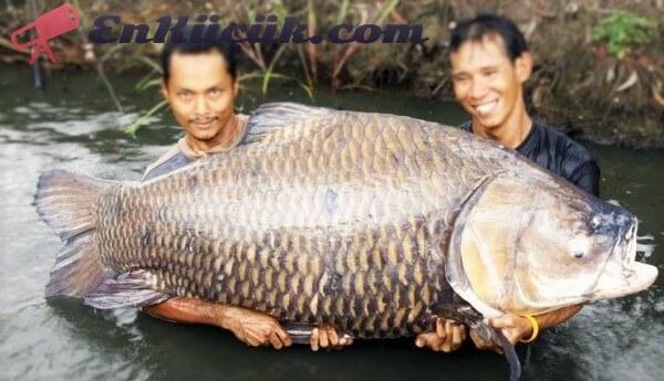 dünyanın en büyük sazan balığı, en büyük sazan avı