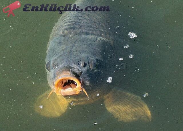 en büyük sazan balığı, en büyük sazan, dünyanın en büyük sazanı, türkiyenin en büyük sazanı