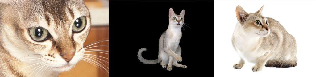 Singapura en kucuk kediler