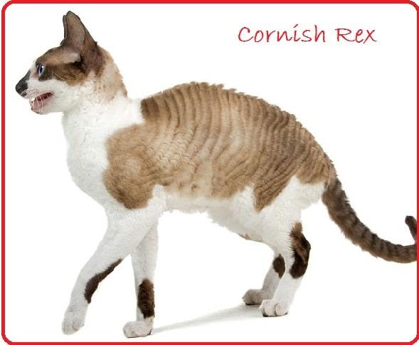 cornish rex en kucuk kedi cinsi