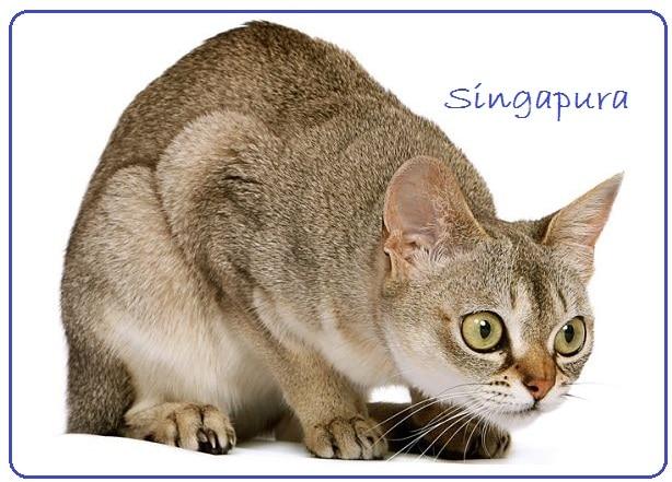 singapura dunyanin en kucuk kedisi