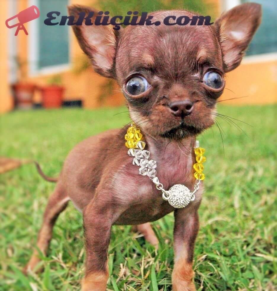 en küçük köpek