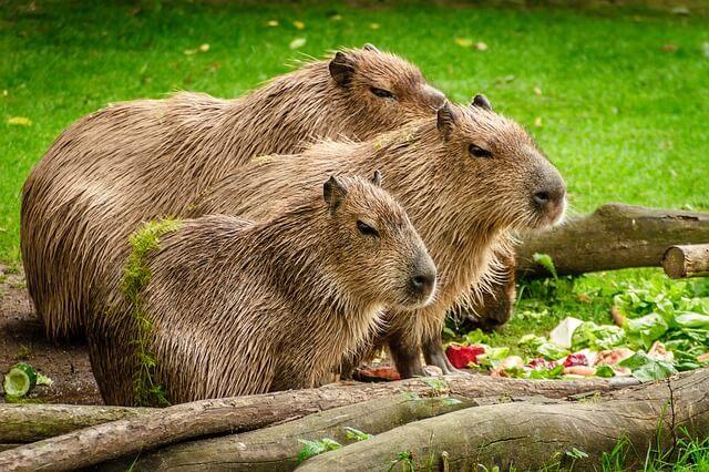 en buyuk fare kapibara
