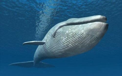 en buyuk hayvan, en büyük balina
