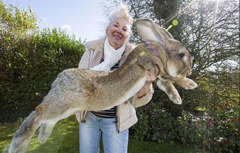 En büyük tavşan, dünyanın en büyük tavşanı, en büyük tavşan hangisidir? En büyük tavşan ırkı, en büyük tavşan ırkının özellikleri...