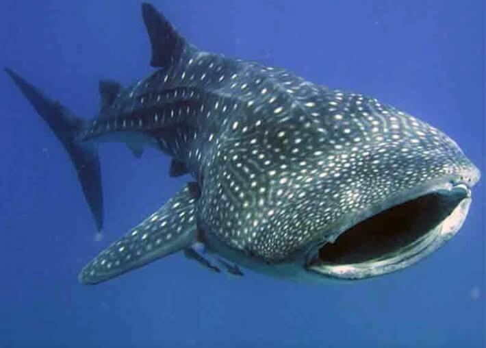 en büyük balık cinsi, en büyük balık türleri