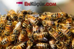arilarin ozellikleri bal arıları