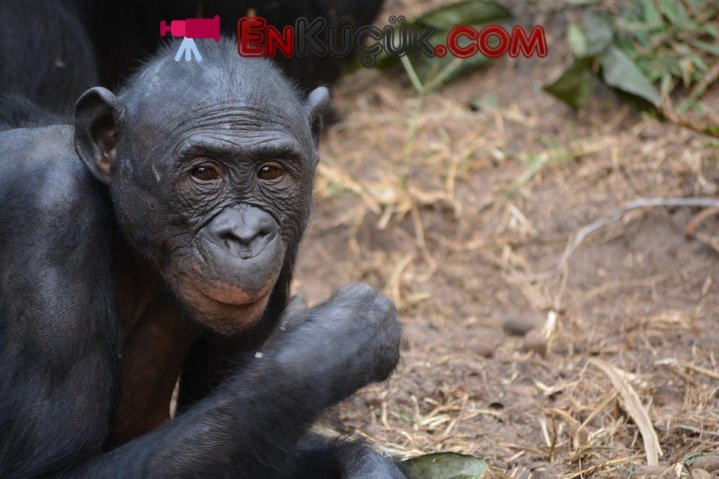 Demokratik Kongo Cumhuriyeti bonobo