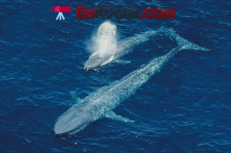 en buyuk balina okyanus