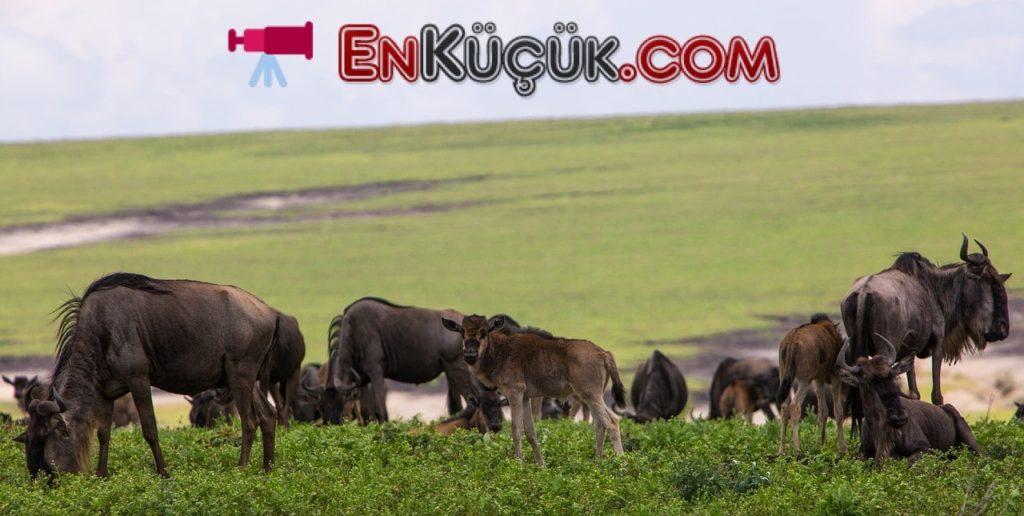 ngorongoro Tanzanya